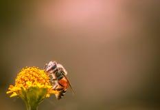 samla honung arkivbild