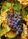 Samla i en klunga av vine Arkivbild
