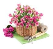 Samla ihop rosa rosor i korg med trädgårds- hjälpmedel Royaltyfria Foton
