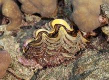 samla musslor jätten Royaltyfri Fotografi