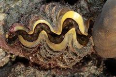 samla musslor jätten Arkivbild
