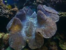 samla musslor jätten Arkivfoton