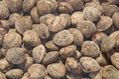 samlar musslor havstryffelvenusen Arkivbilder