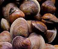 samlar musslor littleneck Royaltyfria Foton