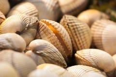 samlar musslor rått Royaltyfri Foto