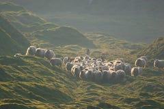 samlas för flock royaltyfri foto
