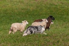Samlas hunden bak gruppen av fårOvisariesen Royaltyfri Bild