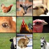 Samling av bilder med lantgårddjur Arkivbilder