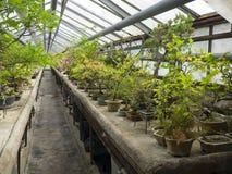 Samling av bonsai i växthuset Arkivfoton