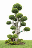 Samling av bonsaiträdet Arkivfoto