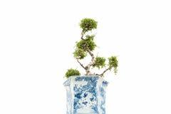 Samling av bonsaiträdet Royaltyfria Foton