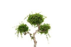 Samling av bonsaiträdet Royaltyfri Fotografi