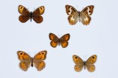 Samling av bruna fjärilar på vit Arkivbild