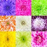 Samling av Chrysanthemumblommamakro Royaltyfri Bild