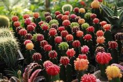 Samling av den färgrika kaktuns Arkivfoton