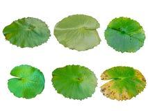 Samling av det gröna lotusblommabladet på vit bakgrund fotografering för bildbyråer