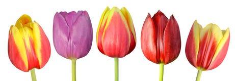 Samling av fem färgrika Tulip Flowers Isolated på vit Fotografering för Bildbyråer