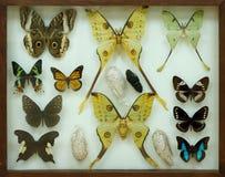 Samling av fjärilar under exponeringsglas Arkivfoto