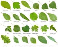 Samling av gröna sidor av träd med namn Arkivbild