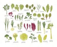Samling av gröna växter Packe av smakliga grönsaker och salladsidor som isoleras på vit bakgrund Läckert sunt vektor illustrationer
