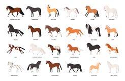 Samling av hästar av olika avel som isoleras på vit bakgrund Packe av ursnygga inhemska häst- djur av stock illustrationer