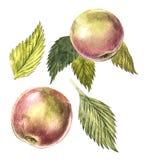 Samling av högt detaljerad hand tecknade äpplen Botanisk illustration för vattenfärg som isoleras på vit bakgrund Arkivfoto