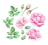 Samling av hand målade rosa rosor för vattenfärg, knoppar och gräsplansidor Fotografering för Bildbyråer