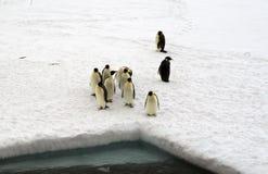 Samling av isolerade kejsarepingvin Royaltyfri Foto