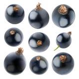 Samling av isolerade svart vinbär Royaltyfri Bild