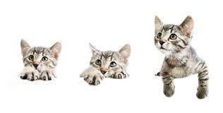Samling av kattungar ovanför det vita banret Royaltyfria Bilder