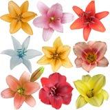 Samling av nio olika liljablommahuvud som isoleras på vit Royaltyfria Bilder