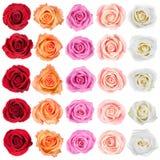 Samling av rosor. Arkivfoto