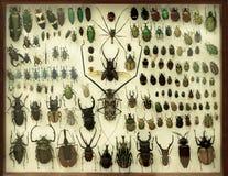 Samling av skalbaggar under ett exponeringsglas Royaltyfri Fotografi