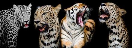 Samling av stående av tigrar och leoparden (Och du kunde fena Royaltyfri Bild