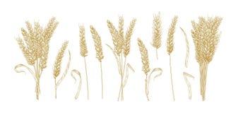 Samling av teckningar av veteöron som isoleras på vit bakgrund Uppsättning av hand drog delar av den kultiverade sädes- växten stock illustrationer
