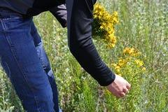 Samling av tutsan blommor Royaltyfria Bilder