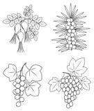 Samling En härlig filial av lösa rosa bär, vinbär, havsbuckthorn, druvor Grafisk bild Användbara smakliga bär för vektor illustrationer