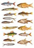 Samling för femton isolerad sötvattensfiskar Royaltyfria Bilder