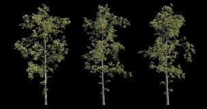 samling för längd i fot räknat 4k av det blåsiga trädet för arkitektonisk visualization med utklippmaskeringen