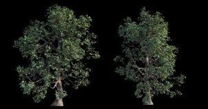 samling för längd i fot räknat 4k av det blåsiga trädet för arkitektonisk visualization med utklippmaskeringen arkivfilmer