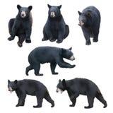 Samling för svart björn på vit bakgrund royaltyfri bild