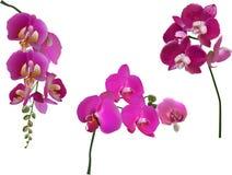 Samling för tre mörk purpurfärgad orkidér som isoleras på vit Fotografering för Bildbyråer