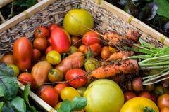 Samlingen av behandla som ett barn tomater och morötter Fotografering för Bildbyråer