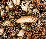Samlingen av brunt sörjer kottar för bakgrunder eller texturer. Clo Royaltyfri Fotografi