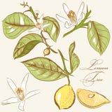 Samlingen av drog citronträdet för vektorn handen blommar och citroner Royaltyfri Foto