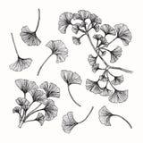 Samlingen av ginkgoen lämnar teckningen och skissar med linje-konst Arkivfoto
