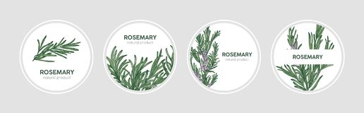 Samlingen av rundaetiketter dekorerade med rosmarinkvistar Uppsättning av härliga cirkuläretiketter med doftande kryddigt kulinar vektor illustrationer