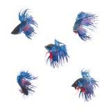 Samlingsgrupp av den blåa siamese stridighetfisken Fotografering för Bildbyråer