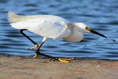 Samll egret fishing near the water Stock Photo