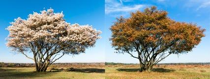 Samma enkelt träd i vår och höst arkivfoton